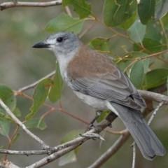 Colluricincla harmonica (Grey Shrike-thrush) at Black Range, NSW - 10 Jul 2020 by AndrewMcCutcheon