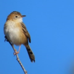 Cisticola exilis (Golden-headed Cisticola) at Jerrabomberra Wetlands - 7 Jul 2020 by roymcd