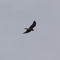 Circus approximans (Swamp Harrier) at Batemans Marine Park - 13 Jul 2020 by LisaH