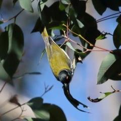 Melithreptus lunatus (White-naped Honeyeater) at Bundanoon, NSW - 13 Jul 2020 by Snowflake