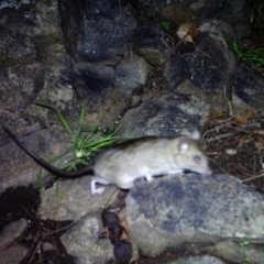 Rattus sp. (genus) (An unidentified rat species) at Gordon, ACT - 11 Jul 2020 by ChrisHolder