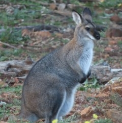 Macropus rufogriseus (Red-necked Wallaby) at Red Hill Nature Reserve - 14 Jul 2020 by roymcd