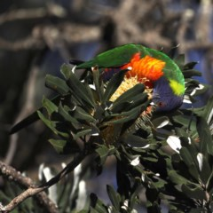 Trichoglossus haematodus (Rainbow Lorikeet) at Congo, NSW - 5 Jul 2020 by jbromilow50