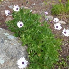 Dimorphotheca ecklonis (African Daisy) at Isaacs Ridge and Nearby - 14 Jul 2020 by Mike