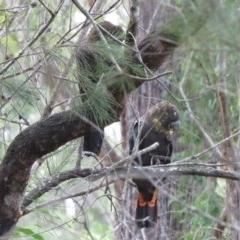 Calyptorhynchus lathami (Glossy Black-cockatoo) at Wallagoot, NSW - 15 Jul 2020 by LizAllen