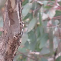 Cormobates leucophaea at Mulligans Flat - 13 Jun 2020