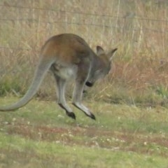 Macropus rufogriseus (Red-necked Wallaby) at Mulligans Flat - 13 Jun 2020 by tom.tomward@gmail.com