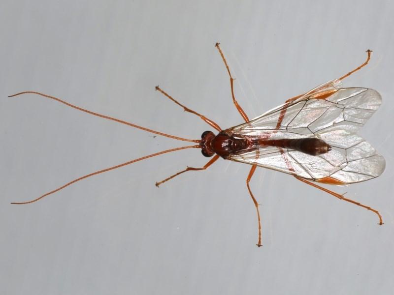 Megaceria sp. (genus) at Ainslie, ACT - 14 Jul 2020