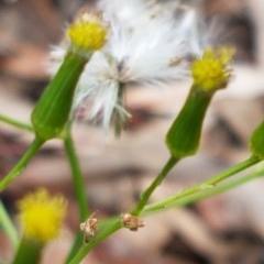 Senecio diaschides (Mountain Groundsel) at Acton, ACT - 16 Jul 2020 by tpreston