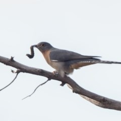 Cacomantis flabelliformis (Fan-tailed Cuckoo) at Stromlo, ACT - 16 Jul 2020 by patrickcox