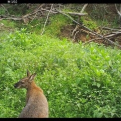 Macropus rufogriseus (Red-necked Wallaby) at Yalwal, NSW - 16 Jul 2020 by simon.slater