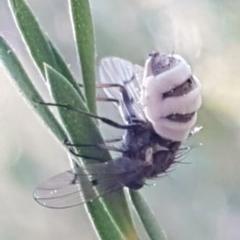 Entomophthora sp. (genus) (Puppeteer Fungus) at Piney Ridge - 17 Jul 2020 by tpreston