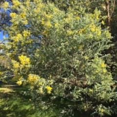 Acacia podalyriifolia (Queensland Silver Wattle) at Wodonga - 17 Jul 2020 by Alburyconservationcompany