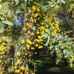 Acacia baileyana (Cootamundra Wattle, Golden Mimosa) at Wodonga, VIC - 17 Jul 2020 by Alburyconservationcompany