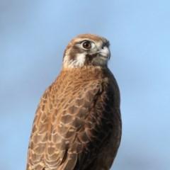 Falco berigora (Brown Falcon) at Jerrabomberra Wetlands - 4 Jul 2020 by jbromilow50