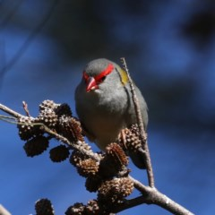 Neochmia temporalis (Red-browed Finch) at Fyshwick, ACT - 4 Jul 2020 by jbromilow50