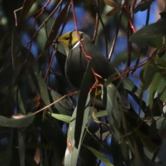 Ptilotula penicillata (White-plumed Honeyeater) at Jerrabomberra Wetlands - 4 Jul 2020 by jbromilow50
