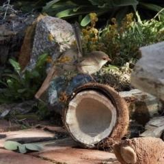 Malurus cyaneus (Superb Fairywren) at Aranda, ACT - 17 Jul 2020 by KMcCue