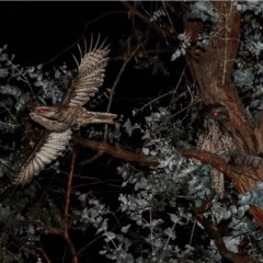 Podargus strigoides (Tawny Frogmouth) at Hughes Grassy Woodland - 17 Jul 2020 by Ct1000