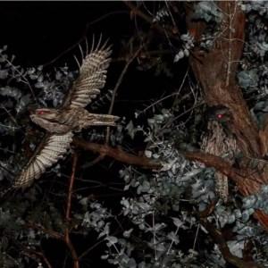 Podargus strigoides at Hughes Grassy Woodland - 17 Jul 2020