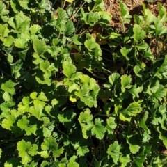 Erodium crinitum (Native Crowfoot) at Mount Painter - 6 Jun 2020 by SarahHnatiuk