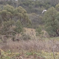 Haliaeetus leucogaster (White-bellied Sea-Eagle) at Googong Foreshore - 18 Jul 2020 by Kym