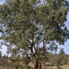 Eucalyptus camaldulensis subsp. camaldulensis (River Red Gum) at Umbagong District Park - 1 Aug 2020 by MattM