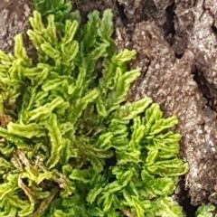 Chiloscyphus sp. (A leafy liverwort) at Namadgi National Park - 18 Jul 2020 by tpreston