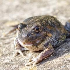 Limnodynastes dumerilii (Eastern Banjo Frog) at Penrose - 18 Jul 2020 by Aussiegall