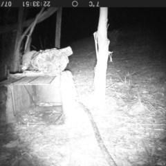 Petaurus breviceps (TBC) at Rivendell Mimosa Park Road - 18 Jul 2020 by vivdavo