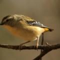Pardalotus punctatus at Morton National Park - 19 Jul 2020