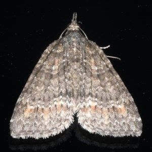 Microdes squamulata at Ainslie, ACT - 18 Jul 2020