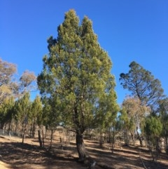 Callitris endlicheri (Black cypress pine) at Black Flat at Corrowong - 19 Jul 2020 by BlackFlat