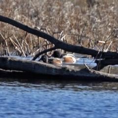 Spatula clypeata at Jerrabomberra Wetlands - 20 Jul 2020
