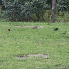 Ptilonorhynchus violaceus (Satin Bowerbird) at WI Private Property - 13 Jul 2020 by wendie
