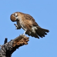 Falco berigora (Brown Falcon) at Jerrabomberra Wetlands - 20 Jul 2020 by RodDeb