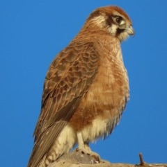 Falco berigora (Brown Falcon) at Jerrabomberra Wetlands - 19 Jul 2020 by roymcd