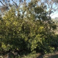 Olea europaea subsp. cuspidata (African Olive) at Mount Mugga Mugga - 19 Jul 2020 by Mike