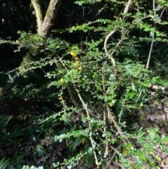 Pittosporum multiflorum (Orange Thorn) at Robertson, NSW - 19 Jul 2020 by KarenG