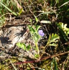 Erodium crinitum (Native Crowfoot) at Hawker, ACT - 19 Jul 2020 by sangio7