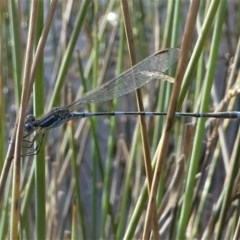 Austrolestes leda (Wandering Ringtail) at Black Mountain - 18 Jul 2020 by HarveyPerkins