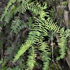 Gleichenia microphylla (Scrambling coral fern) at Robertson, NSW - 19 Jul 2020 by plants