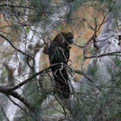 Calyptorhynchus lathami (Glossy Black-cockatoo) at Murramarang National Park - 19 Jul 2020 by LisaH
