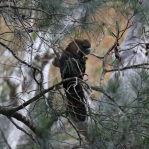 Calyptorhynchus lathami at Murramarang National Park - 19 Jul 2020