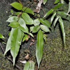 Blechnum ambiguum (Blechnum ambiguum) at - 19 Jul 2020 by plants