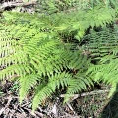 Calochlaena dubia (Rainbow fern) at - 19 Jul 2020 by plants