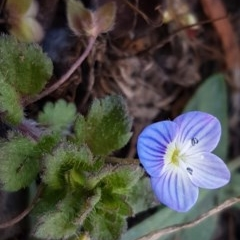 Veronica persica (Creeping Speedwell) at City Renewal Authority Area - 20 Jul 2020 by tpreston