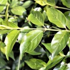 Gynochthodes jasminoides (Sweet Morinda) at Budderoo National Park - 19 Jul 2020 by plants