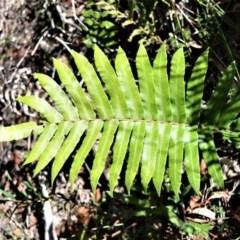 Blechnum camfieldii (Blechnum camfieldii) at - 19 Jul 2020 by plants
