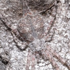 Tamopsis sp. (genus) (Two-tailed spider) at ANBG - 7 Jul 2020 by TimL